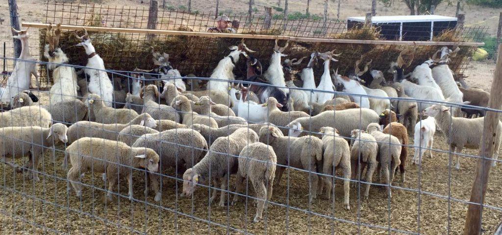 Capre e pecore