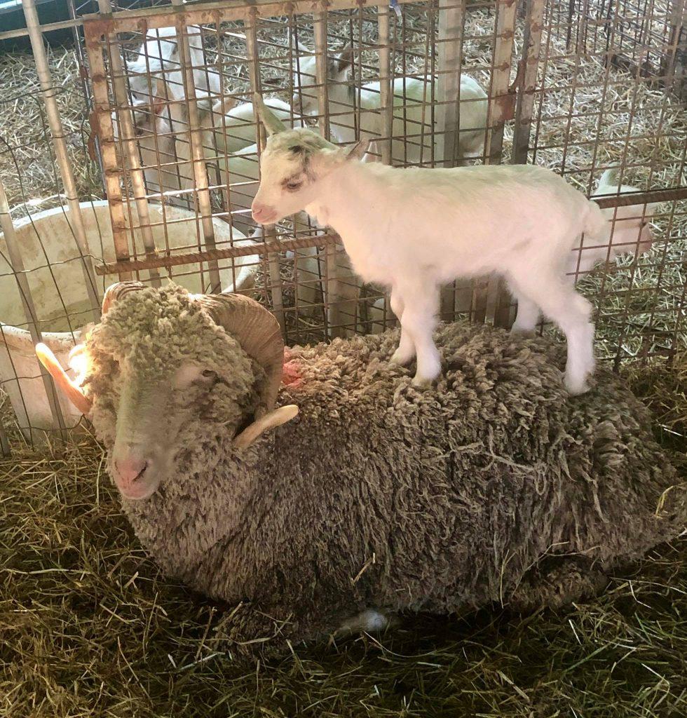 Le pecore della Fattoria Valle Magica