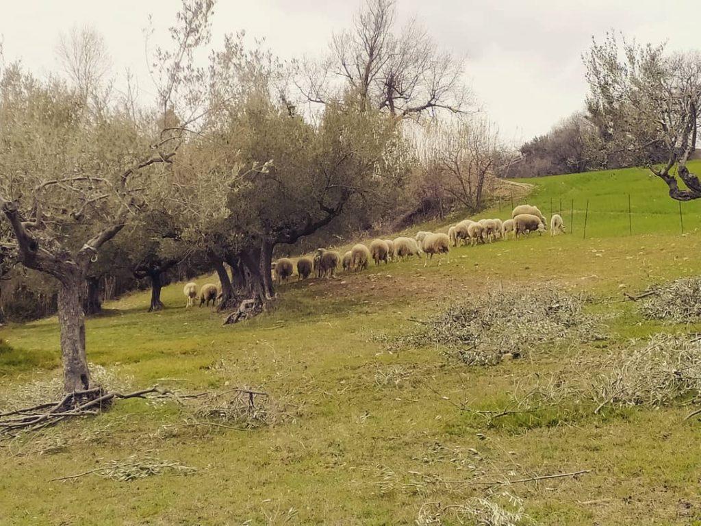 Le pecore di Casamè