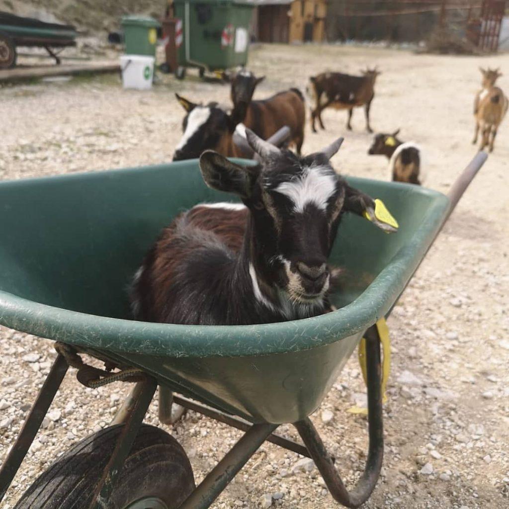 Caprette dell'azienda agricola Rachele Intini